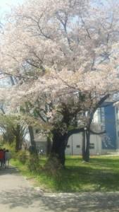 写真(教職大学院棟前の桜)